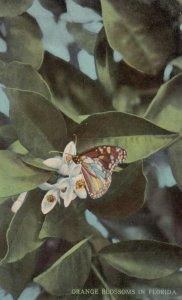 Butterfly on an orange blossom , Florida , 00-10s