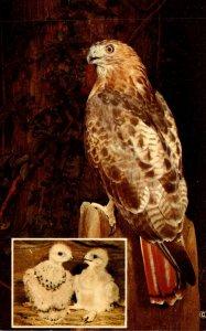 Birds The Red Tailed Hawk Laughing Brook Nature Center Hampden Massachusetts