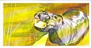 Brooke Bond Tea Trade Card Vanishing Wildlife No 19 Pigmy Hippo