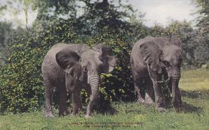 1900-1910´s; Pair Of East African Elephants, New York Zoological Park