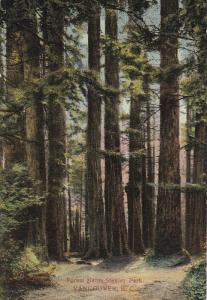 VANCOUVER, British Columbia, Canada, 1900-1910's; Forest Giants Stanley Park