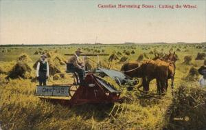 Canadian Harvesting Scene Cutting The Wheat