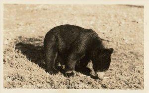 RP:  Black Bear , FAIRBANKS , Alaska , 1910-20s