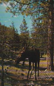 Moose - Is The Colossus Of The Deer Family, British Columbia, Canada, 1940-1960s