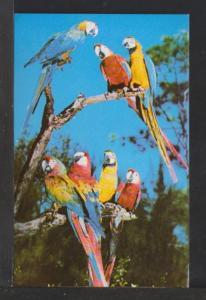 Macaws,Parrot Jungle,Miami,FL Postcard