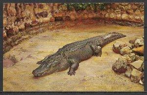 Florida, Sarasota - Huge Alligator - Jungle Gardens - [FL-239]