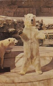 ST LOUIS , Missouri , 40-60s ; Polar Bear at Zoo