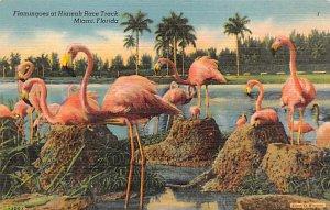 Flamingos Flamingoes, Hialeah Rack Track Miami, Florida, USA Unused
