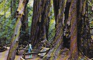 California Mill Valley The Fallen Giant