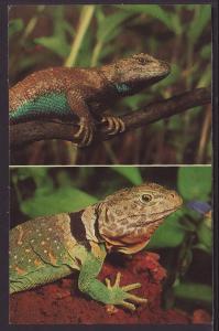 Fence Lizard,Collared Lizard Postcard