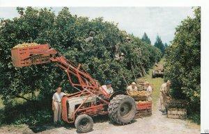 America Postcard - Citrus Harvest in Florida   P218