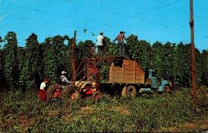 Washington Hop Harvesting In Central Washington 1964