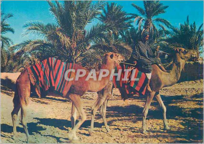 Modern Postcard Sahara Camels walking in the oasis