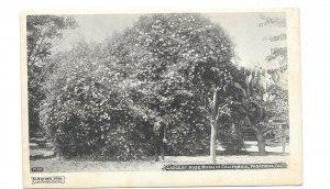 Vintage Postcard Los Angeles CA Pasadena LARGEST ROSE BUSH IN CALIFORNIA UDB