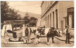 Cows, Madeira Carro De Bois, Portugal, 1900-1910s