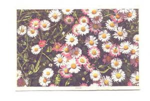 Daisies, Swiss Flower Series,