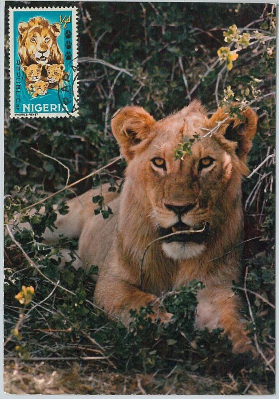 59103  -  NIGERIA  - POSTAL HISTORY: MAXIMUM CARD 1967  -  ANIMALS  Lion