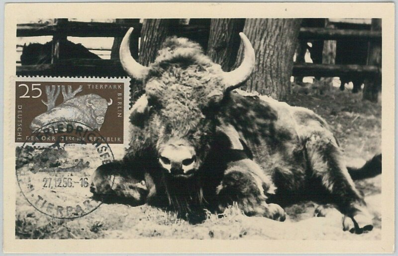 52554  - GERMANY DDR - POSTAL HISTORY - MAXIMUM CARD - 1956  ANIMALS:  BUFFALO