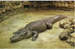 Vintage Post Card,American Alligator,Sarasota Jungle Gardens,Florida,VF Unused