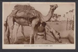 Aden Sc 51, 52 on 1955 Real Photo PPC to London, Camels at Sheikh Othman