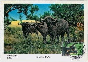 MAXIMUM CARD - POSTAL HISTORY - Upper Volta: Buffalo Cafro, Wild Animals, Safari