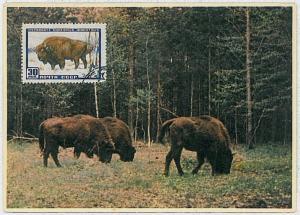 MAXIMUM CARD - POSTAL HISTORY - Russia USSR: Buffalos, Wild Animals, 1960