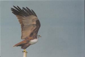 India 2015  Brahminy Kite  Philatelic  Picture Card  Birds   # 02953 d