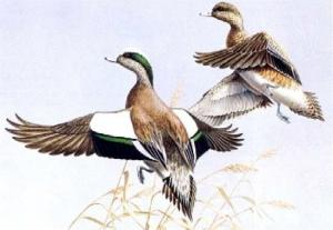 TEXAS #3 1983 STATE DUCK STAMP PRINT WIDGEON by Maynard Reece List $700