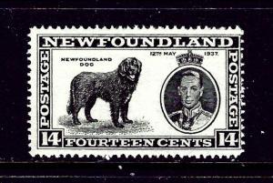Newfoundland 238 MLH 1937 Newfoundland Dog