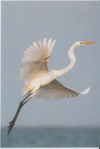 India 2015  Large Egret  Philatelic  Picture Card  Birds   # 02957 d