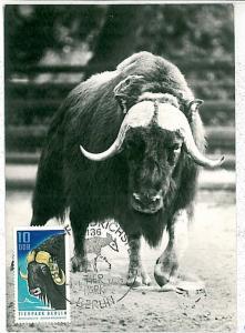MAXIMUM CARD - POSTAL HISTORY - DDR: Buffalos, Fauna, 1971