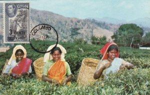 MXC6) 1960, Sri Lanka, CP59, Tea Pluckers, Up Country, Ceylon, maximum card