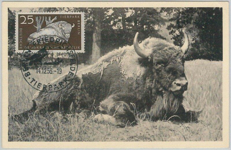 52555  - GERMANY DDR - POSTAL HISTORY - MAXIMUM CARD - 1956  ANIMALS:  BUFFALO