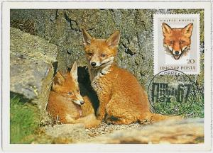 MAXIMUM CARD - POSTAL HISTORY - Hungary: Foxes, Hunting, Fauna, 1967