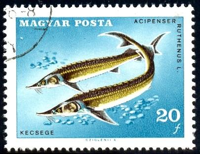 Fish, Sterlets, Hungary stamp SC#1842 used