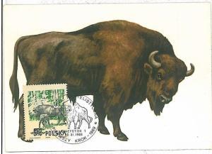 32224 MAXIMUM CARD - POSTAL HISTORY - Polonia: Buffalos, Wild Animals, 1969