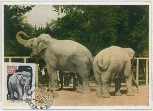 MAXIMUM CARD - POSTAL HISTORY - Russia USSR: UNPERFORATED Stamp, Elephants, 1966