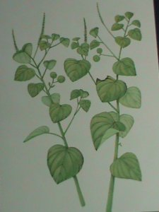 ST.TOMAS PC-1983 MEDICINAL PLANTS PREPAID HIGH VALUE POSTCARD-MNH-VF