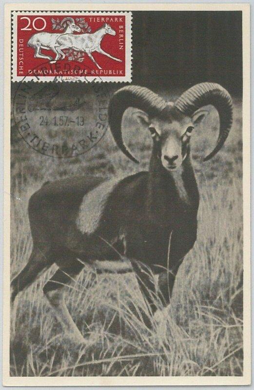 52556  - GERMANY DDR - POSTAL HISTORY - MAXIMUM CARD - 1957  ANIMALS:  Ram