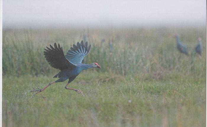 India 2015  Prrple Moorhen  Hens  Philatelic  Picture Card  Birds   # 02954 d