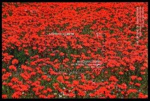 2019 Azerbaijan 1500/B235 Nakhchivan. Poppy field. Julfa region