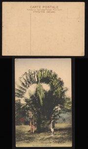 Singapore ca 1910 Traveller's Tree colour postcard