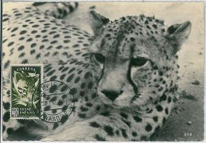 32180 MAXIMUM CARD - POSTAL HISTORY - Spanish Guinea: Phanther, Leopard   1955
