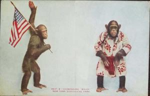 o)1920 UNITED STATES - USA, ZOOLOGICAL PARK-CHIMPANZEE BALDY -PATRIOTIC. XF