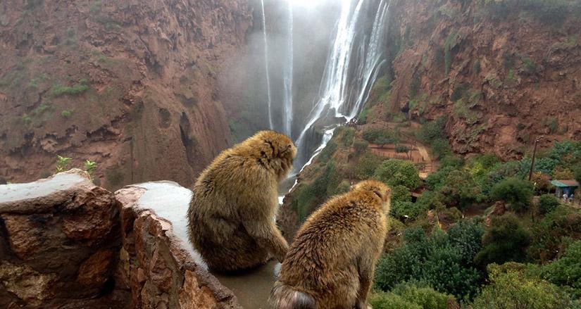 monkeys around ouzoud waterfall