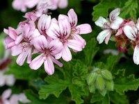 Rose Geranium  Essential Oil 玫瑰天竺葵精油