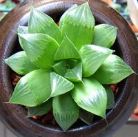 龜葉草油turyle leaf oil