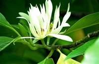 Michelia Essential Oil 白蘭花精油