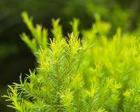 (澳洲) 茶樹精油 100ml (醫藥級) Tea Tree Essential Oil