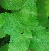 檸檬薄荷優質盆栽種子 熱賣香草植物 四季可播 30粒